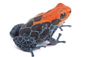 red poison dart frog isolated,Ranitomeya amazonica Rio Blance. Beautiful vibrant amphibian from tropical rain forest in Peru kept as exotic pet in terrarium
