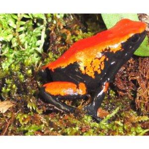 Adelphobates-galactonotus-gel-oranhe