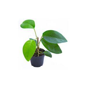 Anthurium-spec.-Suriname