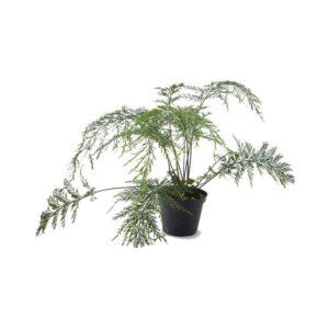 Asplenium-daucifolium