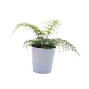 Asplenium-daucifolium-fijn