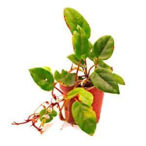 Begonia schulzei begonia elaeagnifolia