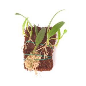 Bulbophyllum-odiratissium-16