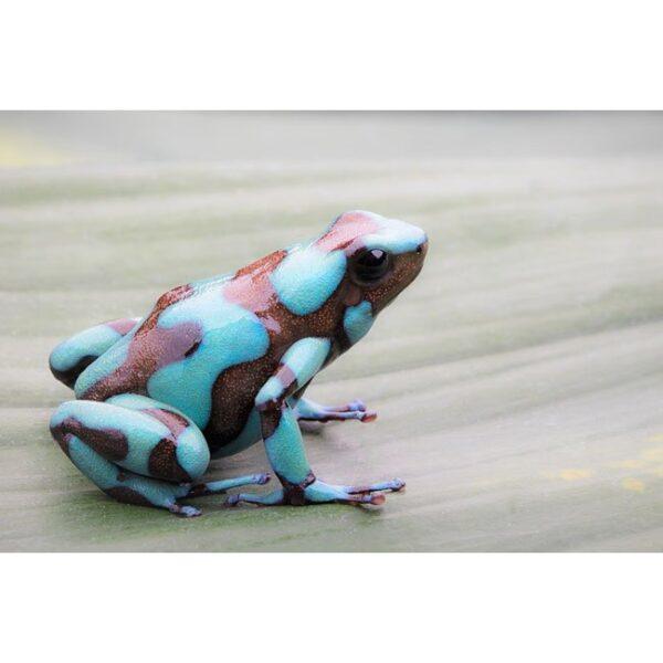 Dendrobates Kolumbien blau