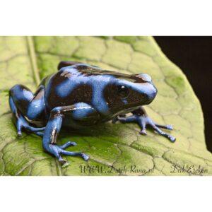 Dendrobates-auratus-blau-(2)