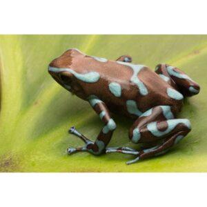 Dendrobates-auratus-bronze-(1)