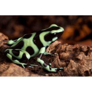Dendrobates-auratus-costa-rica