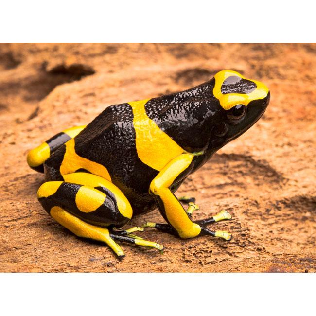 Dendrobates leucomelas Guyana gebändert