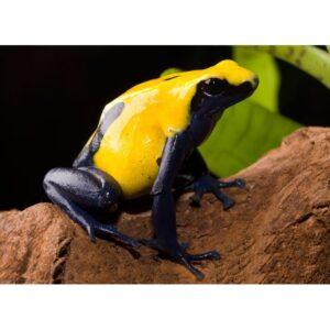 Dendrobates-tinctorius-citronella