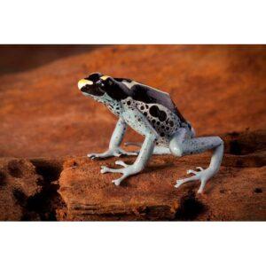 Dendrobates-tinctorius-grijspoot