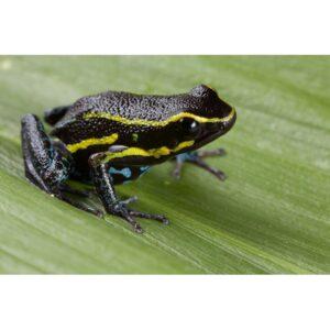 Hyloxalus-azureiventris