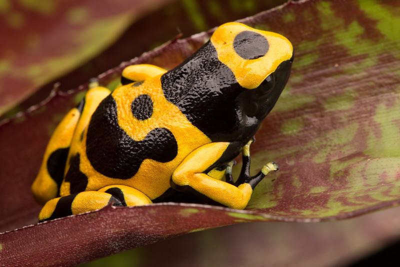 Dendrobates leucomelas Guyana