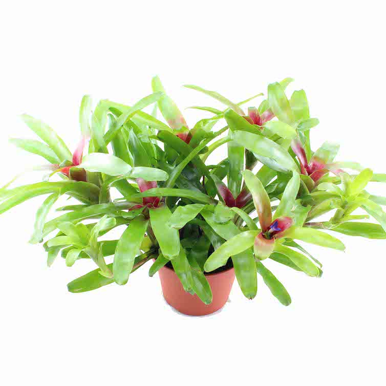 neoregelia fireball xl die terrarienbromelie rana terrarienbau. Black Bedroom Furniture Sets. Home Design Ideas