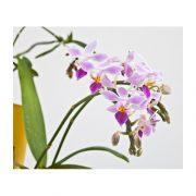 Phalaenopsis-equestris-Bluete