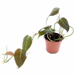 philodendron-melanochrysum-kopie
