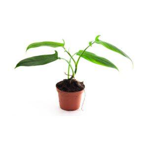 Philodendron-spec-costa-rica