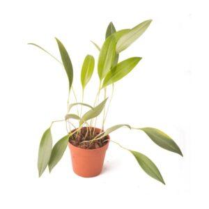 Pleurothallis-ruscifolia