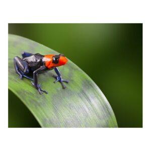 Ranitomeya-benedicta-pampa-hermosa-(2)