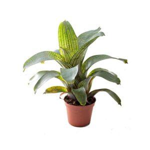 Vriesea-gigantea-1-