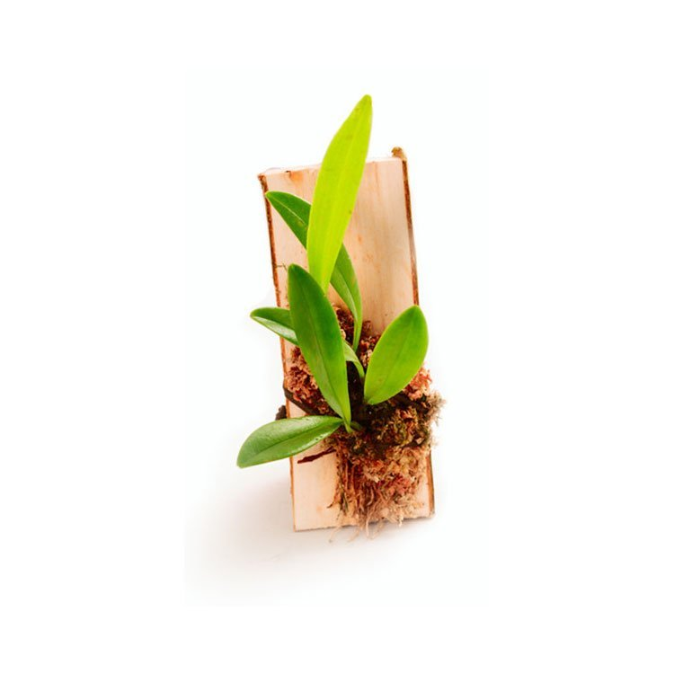 pleurothallis tripterantha rana terrarienbau. Black Bedroom Furniture Sets. Home Design Ideas
