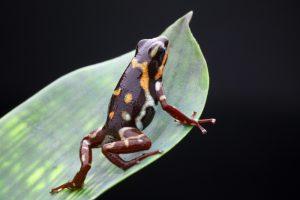 Oophaga pumilio Rio Uyama