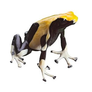 poisonous animal poison dart frog with bright vivid black and yellow colors beautiful amphibian of amazon rain forest dendrobates tinctorius