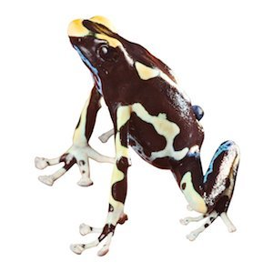poisonous frog with bright colors beautiful amphibian of amazon rain forest pet animal dendrobates tinctorius