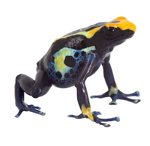 poison dart frog isolated dendrobates tinctorius poisonous animal of amazon rainforest kept as pet in terrarium