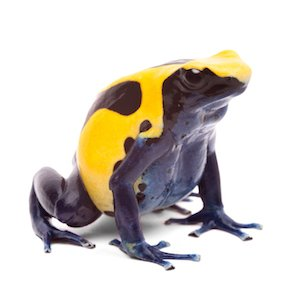 yellow blue poison dart frog from Amazon rain forest in Suriname, Dendrobates tinctorius often kept as pet animal in a tropical rainforest terrarium. Beauticul vibrant amphibian isolated on white