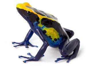 Poison arrow frog, Dendrobates tinctorius isolated on white background. A tropical rain forest animal from the Amazon jungle.