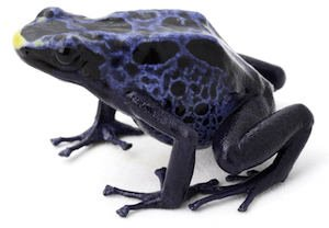 blue poison dart frog on white Dendrobates tinctorius a poisonous animal from the Amazon rainforest in Suriname. Macro of a small amphibian.