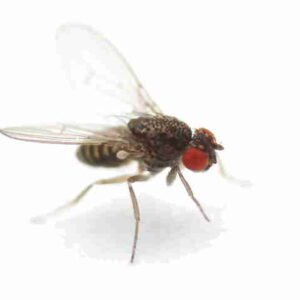 drosophila-hydei
