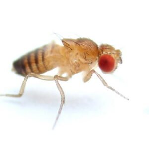 drosophila-melanogaster