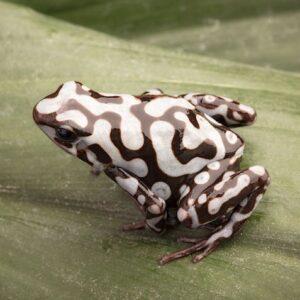 dendrobates-auratus-pena-blanca1