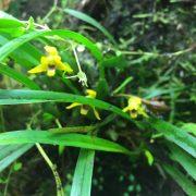maxillaria-variabilis-bluete