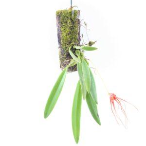 bulbophyllum-tingabarinum-blu%cc%88te-1