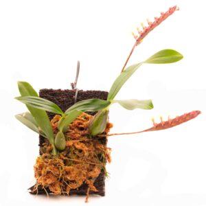 bulbophyllum-falcatum