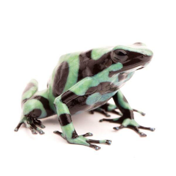 Dendrobates auratus Nicaragua.