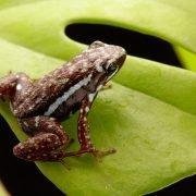 epipedobates-tricolor-cielito