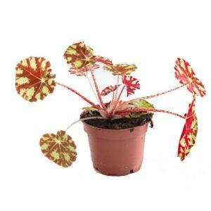 begonia-bowerae-tiger