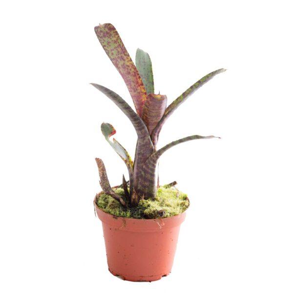 Neoregelia ampullacea var. purpurea