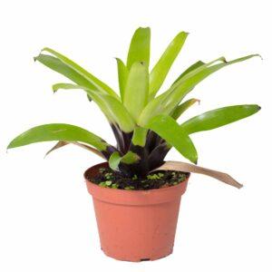 Vriesea erythrodactylon