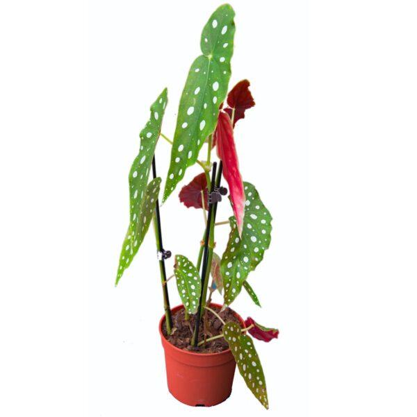 begonia-maculata-wightii