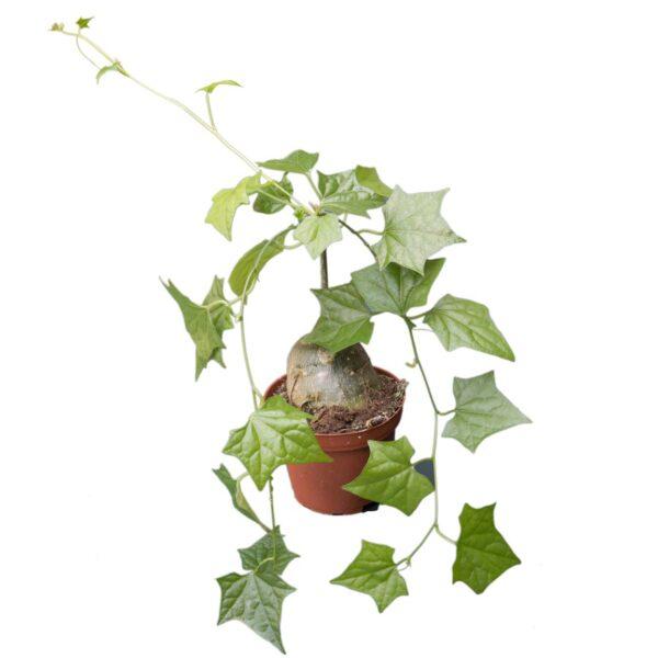 gerrardanthus macrorhizus