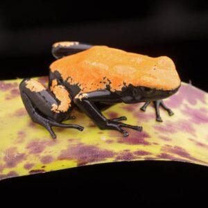 adelphobates-galactonotus-orange