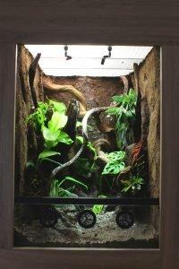 kronengecko terraium