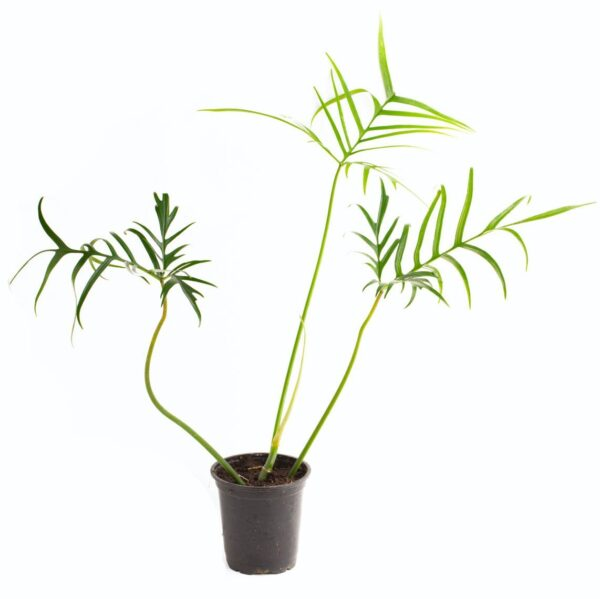 Philodendron polypodioides