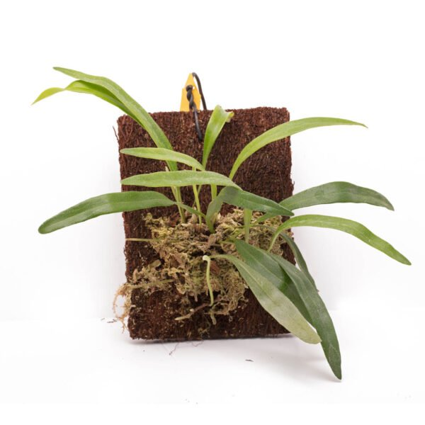 pyrrosia lanceolata