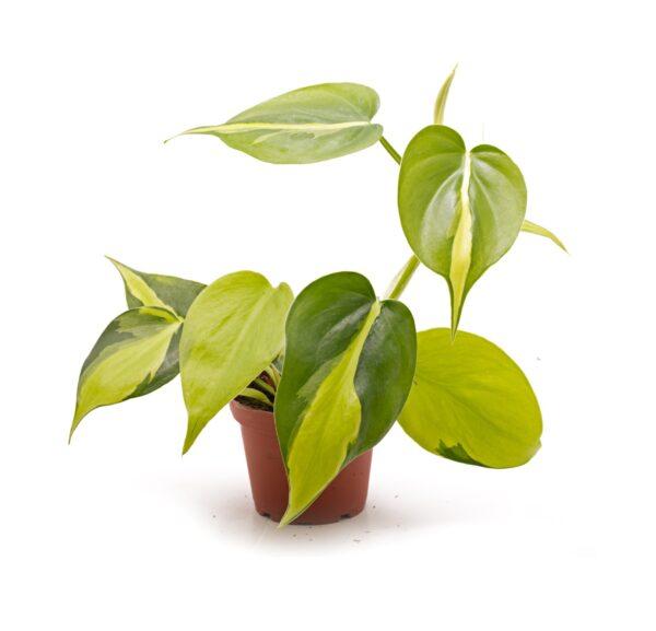 philodendron-scandens-variegata