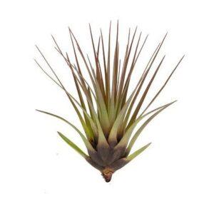 tillandsia-melanocrater-tricolor